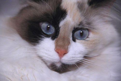 katė, purus, kačių, svajonė, katės svajonė
