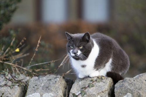 katė, kačių, naminis gyvūnėlis, gyvūnas, pilka, pilka, balta, sėdi, siena, akis, akys, skirtingos, spalvos, spalvos, spalvos, spalvos, žalias, geltona, Laisvas, viešasis & nbsp, domenas, katė skirtingų spalvų akyse