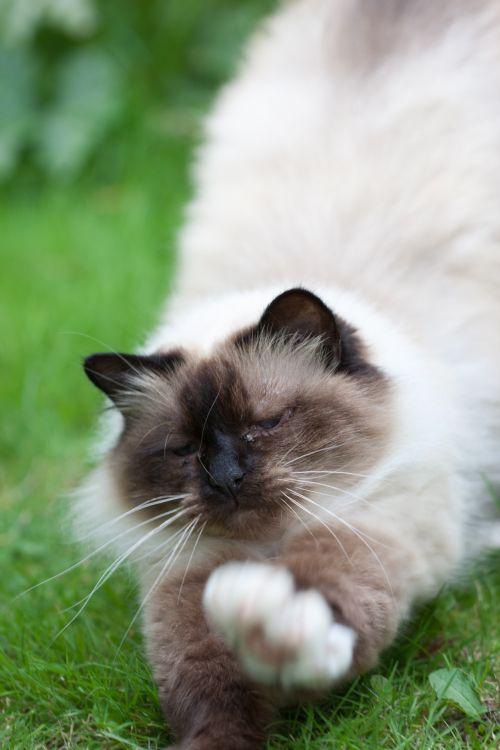 katė, kačiukas, kačių, ruožas, ištempimas, Iš arti, naminis gyvūnėlis, gyvūnas, purus, kilmės, gražus, Laisvas, viešasis & nbsp, domenas, veidas, ūsai, detalės, katės ruožas