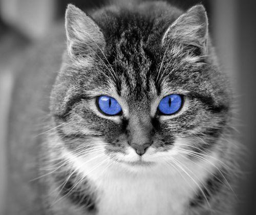 katė, akys, mėlynas, mėlynos & nbsp, akys, mėlynas & nbsp, akimis, portretas, veidas, Uždaryti, uždaryti & nbsp, gyvūnas, naminis gyvūnėlis, kačių, gražus, pussy, kačiukas, Laisvas, viešasis & nbsp, domenas, katė su mėlynomis akimis