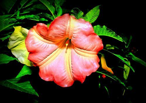 catalpa,žiedas,žydėti,bignoniaceae augalai,ornamentinis medis,lapai,žalias,šiek tiek toksiškas,dekoratyvinis augalas
