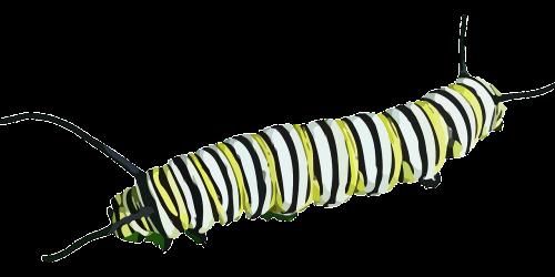 vikšras,vabzdys,drugelis,gamta,monarcho drugelis,danaus plexippus,pieno vaisių drugelis,danainae,nymphalidae,nemokama vektorinė grafika