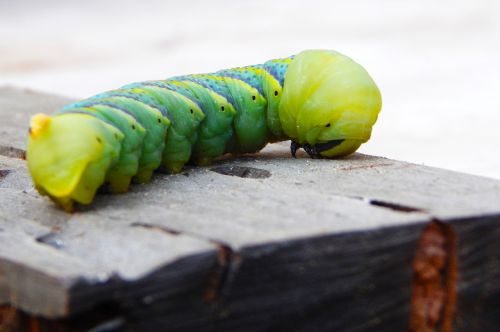 vikšras,drugelis,žalias,mėlynas,geltona,mediena,pavasaris