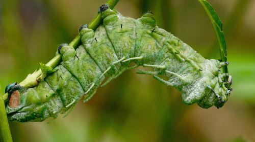 vikšras,atlasas molio vikšras,egzotiškas,drugelis vikšras,atogrąžų,drugelis namas,žalias,didelis,pelės vikšras