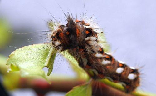 vikšras,vabzdys,drugelis,Uždaryti,dygliuotas,gervuogių grasinimas