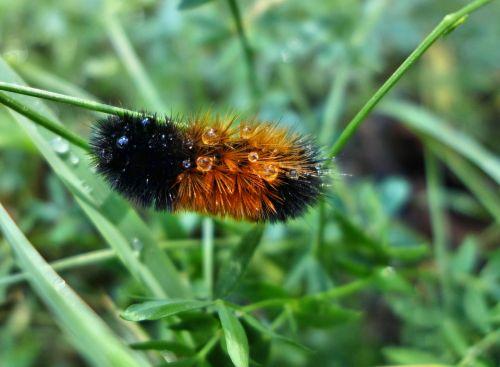 vikšras,rudas lokys,drugelis,vabzdys,Uždaryti,gamta,gyvūnas,ruda,rudoji vikšras,plaukuotas,storio vikšras,drugelis vikšras,arctia caja,sodo tigras,žolė,žiūrėti