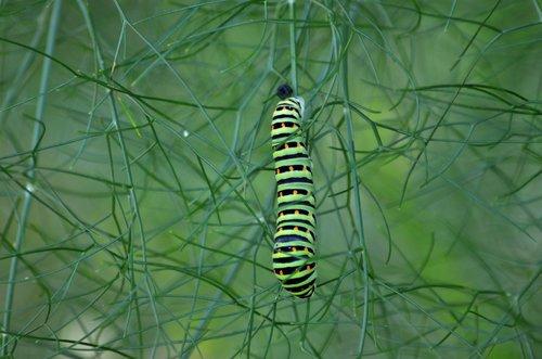 Caterpillar, drugelis, pankolių, pobūdį, vabzdžiai, vasara, metamorfozė