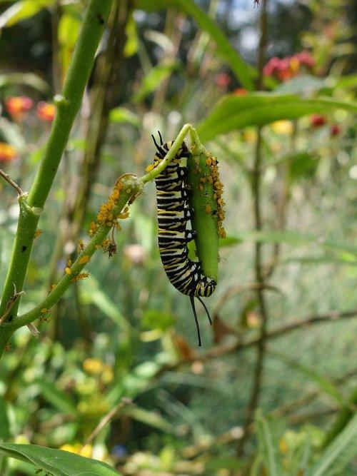 Caterpillar, monarchas, Sodas, žalias, Gyvūnijos, Re, pobūdį, metamorfozė, vasara, milkweed, entomologija, lerva, padaras