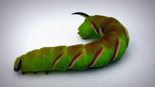 vikšras,gyvūnas,storio vikšras,drugelis vikšras,gamta,gyventi,žalias