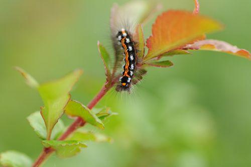 vikšras,drugelis vikšras,gamta,vabzdys,plėtros etapas,storio vikšras,lerva