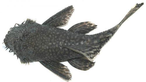 šamas,biologija,žuvis