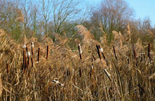 Cattail,nendrė,augalas,gamta,kanonenputzer,žiema