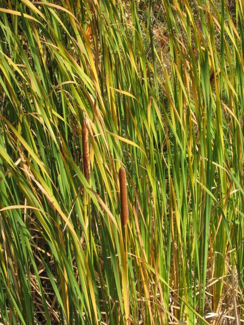 Cattail,pelkės,žolė,tvenkinys,pelkė