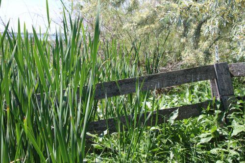 Cattails, medinis, tvora, pelkės, ežeras, tvirtina tvenkinį pelkės ežere