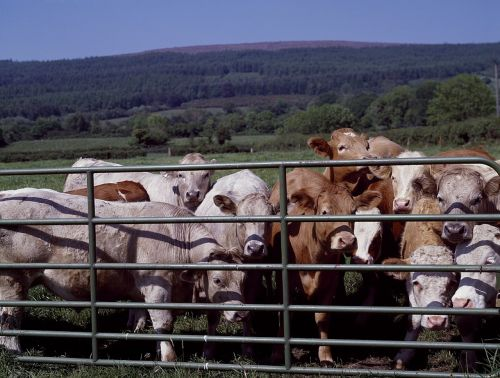 galvijai, vartai, ranča, Žemdirbystė, ūkio kaimo, Šalis, ūkininkavimas, gyvūnai, gyvuliai, Vakarų, galvijai