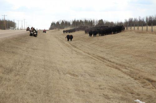 galvijai, vairuoti, karvės, gyvuliai, kaubojus, galvijų vairuoti