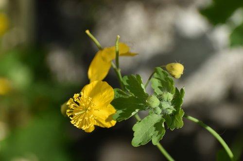 ugniažolės, gėlės, geltona, Sodas, gėlė, floros, žydi, pobūdį, augalai