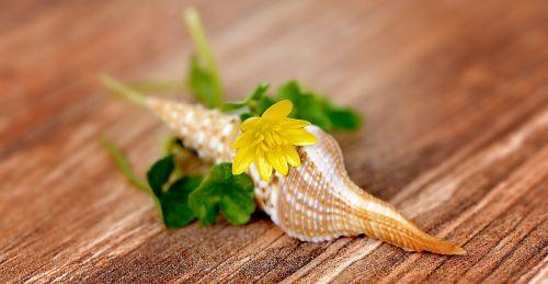 celandine, gėlė, žiedas, žydėti, geltona, lukštas, tuščia, tuščia kriauklė, mediena, Uždaryti
