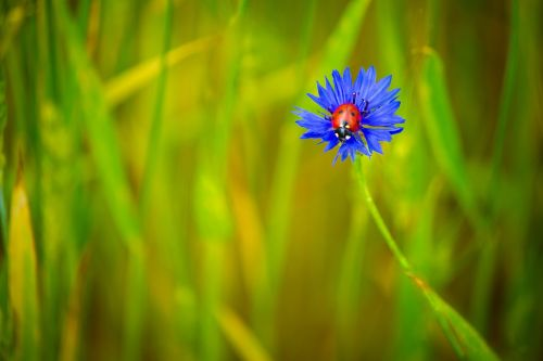 centaurea,mėlynas,mėlyna gėlė,Boružė,vabzdžiai,gėlės,vasara,žydėti,gamta,Iš arti,augalas,žalias,žiedlapiai,lauko gėlės,vasaros gėlės,laukinės gėlės,laukas,laukinės žolelės,Rusija,žolė,flora