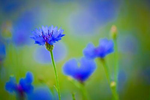 centaurea,mėlyna gėlė,lauko augalas,gėlės,šviesus,gražus,laukinės gėlės,laukiniai,žiedlapiai,laukinės žolelės,pieva,laukas,mėlynas,žiedlapis,laukinė gėlė,vasaros gėlės,žydėti,gamta,lauko gėlės,augalai,pievos gėlės,žolė,kaimas,laukinė žolė,pievos žolė,žalias,veja
