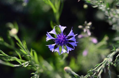 centaurea,gėlė,gėlės,flora,vasara,gamta,Iš arti,žydėti,augalas,laukinės gėlės,mėlynas,violetinė,laukinės žolelės,lauko gėlės,gražus,žolė,makro,žiedlapis,vasaros gėlės,gražios gėlės,gėlių laukas,mėlyna gėlė