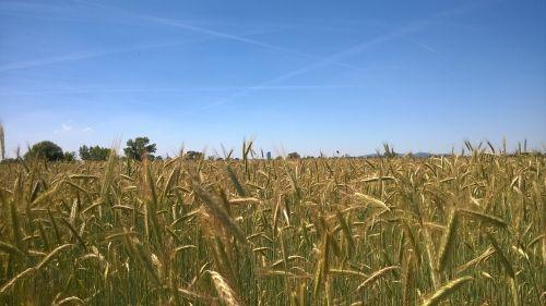 grūdai,laukas,gamta,Žemdirbystė,rugių laukas,kukurūzų laukas