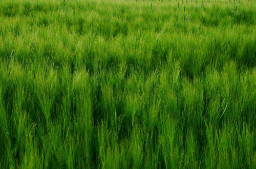 grūdai,kukurūzų laukas,miežiai,miežių laukas,augti,žalias,subrendęs,laukas,Žemdirbystė,spiglys,laukinės kultūros