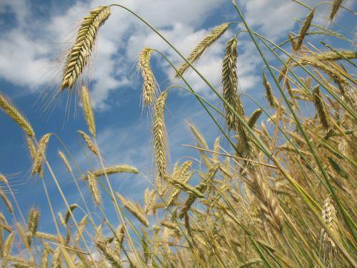 grūdai,kvieciai,Žemdirbystė,rugių laukas,grūdai,kviečių smaigalys,spiglys,ariamasis,derlius,maistas,sėkla,auksas,dangus,grūdų laukai,Bauer,laukas,prinokę,vasara,gamta,avižų laukas,kukurūzų laukas
