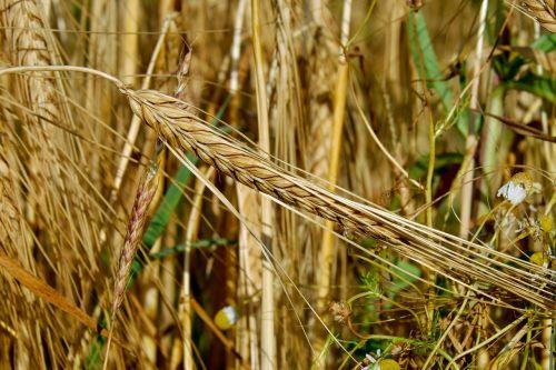 grūdai,rugiai,ausis,maistingas rugius,grūdai,rugių laukas,Žemdirbystė,kukurūzų laukas,sveiki kviečiai,maistas,pagrindinis maistas,augalas,laukas,vasara