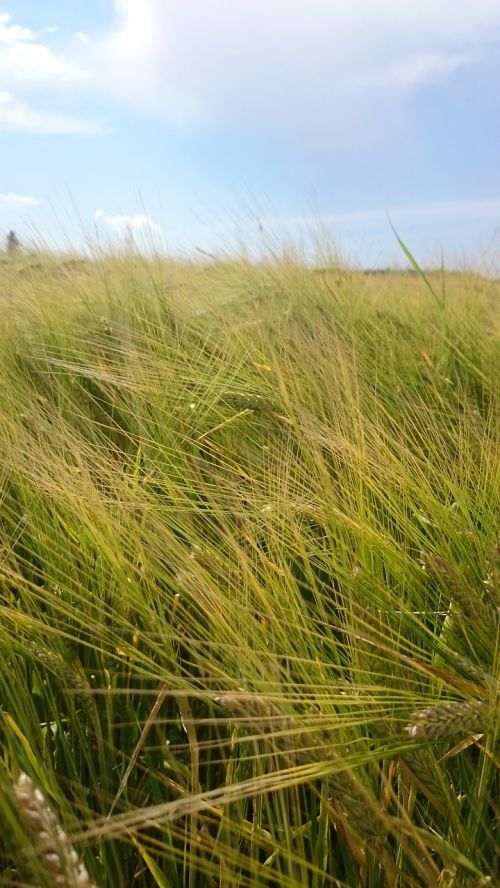 grūdai,kvieciai,laukas,kukurūzų laukas,rugių laukas,vasara