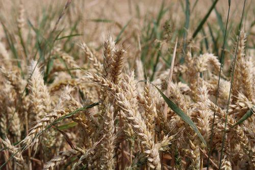 grūdai,kukurūzų laukas,vasara,ausis,laukas,gamta,augalas,miežių laukas,miežiai,kraštovaizdis,kvieciai,kukurūzų ausys,Žemdirbystė,rugiai,rugių laukas,derlius,laukai,maistingas rugius
