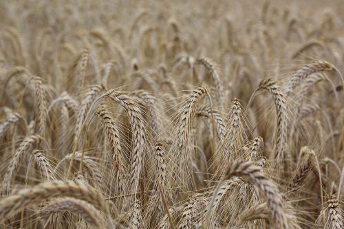 grūdai,spiglys,kukurūzų laukas