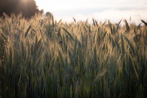 grūdai, miežiai, kvieciai, spiglys, laukas, žalias, miežiai srityje, ausies, pobūdį, Žemdirbystė, vasara, grūdų, Niva, maisto, Iš arti, maisto produktas, maitinamasis miežiai, augalų, Sunny, Golden, aukso geltonumo spalvos, ariama