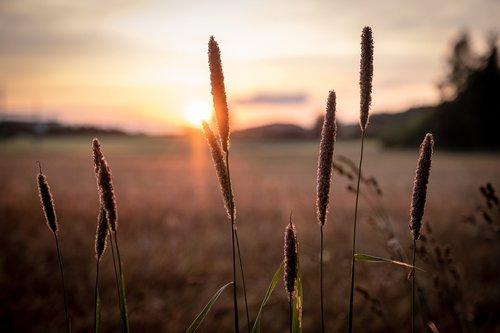 grūdai, miežiai, kvieciai, spiglys, laukas, žalias, miežiai srityje, ausies, pobūdį, Žemdirbystė, vasara, grūdų, Niva, Uždaryti, maisto produktas, maitinamasis miežiai, augalų, Sunny, Golden, aukso geltonumo spalvos, ariama