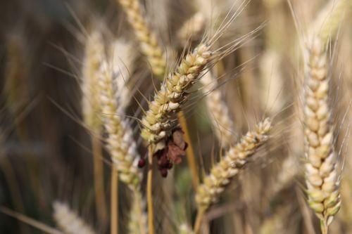 grūdai,miežiai,miežių laukas,kukurūzų laukas,javai,maistas,ausis,maistingi miežiai,makro,kraštovaizdis,derlius,augalas,ariamasis,Žemdirbystė,kepykla,duona,muesli