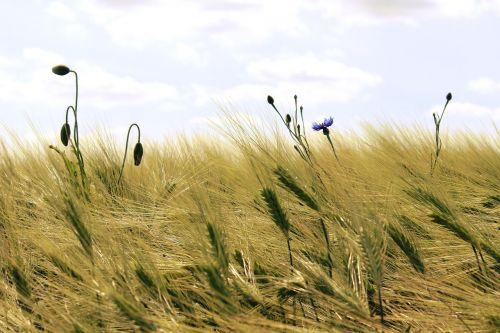 grūdai, kukurūzų laukas, laukas, grūdai, Žemdirbystė, gamta, vasara, spiglys, kvieciai, derlius, ariamasis, rugių laukas, kviečių smaigalys, gėlės, kaimas, kraštovaizdis, augalas, miežių laukas, aukso geltona, dangus, debesys, kukurūzai, mėlynas
