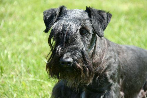 cesky terjeras,bohemijos terjeras,terjeras,galvos portretas,grynaveislis šuo,šuo