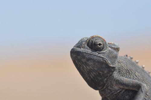 chameleonas,dykuma,Namib dykuma,sausas,Uždaryti,heiss,gamta