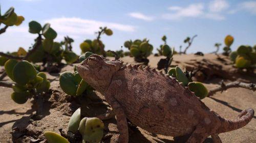 chameleonas,dykuma,namib,ropliai,smėlis