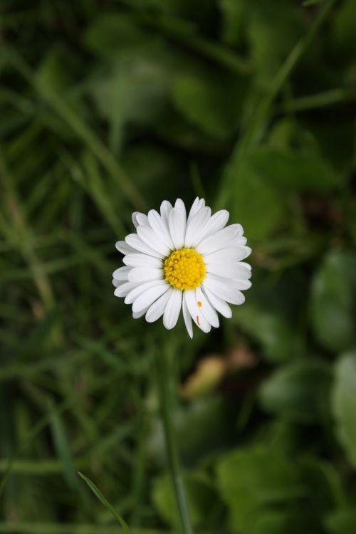ramunė,Daisy,gėlė,pieva,balta,saulėtas,gėlių pieva,gėlės,mėlynas,vasaros pieva,vasara,kalnų pieva,žolė,gamta,kraštovaizdis,atsigavimas,ganykla,Alpių pieva,laukinės gėlės,šventė,pavasaris