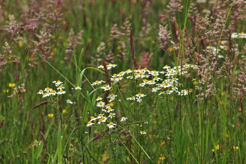 ramunė,laukinis pievas,žalias,laukinės žolės,laukinė žolė,baltos gėlės,augalas,žolė,žolės,žydėjimo žolė,gamta,pieva,Halme,žaislinė žolė,žolės žolės,žolės ausys,spiglys,laukas,Uždaryti,flora,botanika,botanikos,gėlės,vasara,metų laikas,auginami laukiniai