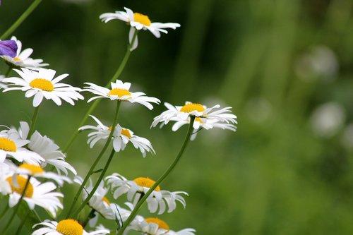 ramunėlių, gėlės, baltos gėlės, gėlės srityje, vasara, Iš arti, baltos Saulutės, žydi, pobūdį, vasaros gėlės, šviesus, makro, meadow, geltona centras, glade, žaliame fone, floros, žiedlapiai