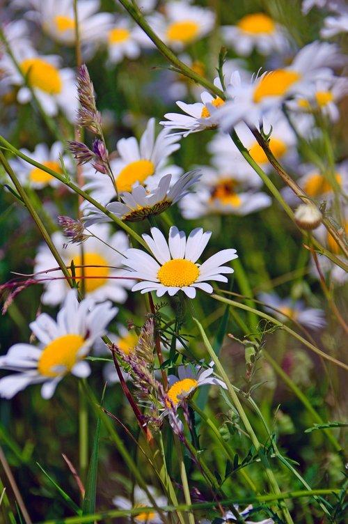 ramunėlių, ramunėlių žiedai, žolė, gėlės, gėlė, pobūdį, vasaros gėlės, vasaros gėlės, meadow, šviežias, žydi gėlės, sodo gėlės