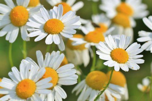 ramunė,ramunėlių gėlė,vaistinis augalas,vaistažolių medicina,vaistiniai augalai,natūropatas,žiedas,žydėti,gamta,laukinė žolelė,laukinės žolelės,vaistinis augalas,augalas,Uždaryti,žalias,gėlė,flora,botanika