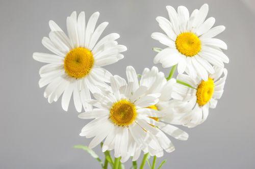 ramunė,gėlės,žydėti,baltos dainos,geltonas centras,žiedlapiai,pilka fone,sidabrinė pilka fone,puokštė,lauko gėlės,vasara,saulėta diena,pilkas fonas,monofoninis fonas