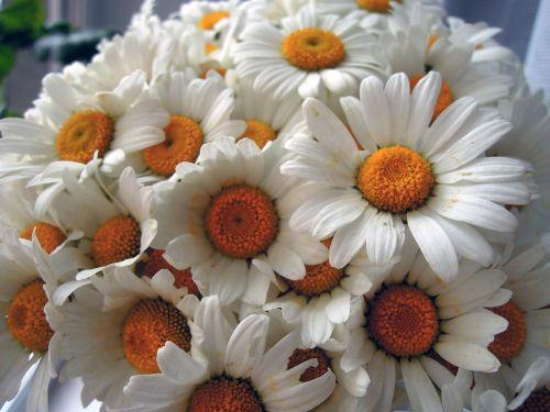 ramunė,gėlės,balta,baltos gėlės,vasara,Iš arti,žydėti,vasaros gėlės,žiedlapis,puokštė,žiedlapiai,birželis,lauko gėlės
