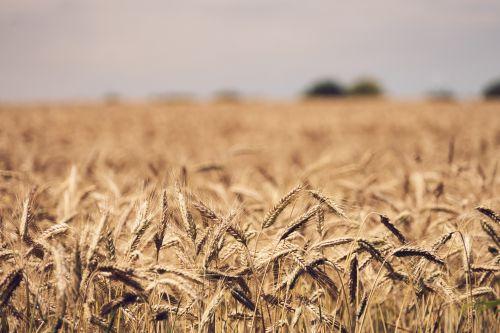kvieciai, grūdai, miltai, maitinti, maistas, laukas, ūkininkavimas, vasara, ūkis, valstiečiai, intensyvus & nbsp, ūkininkavimas, rugių laukas