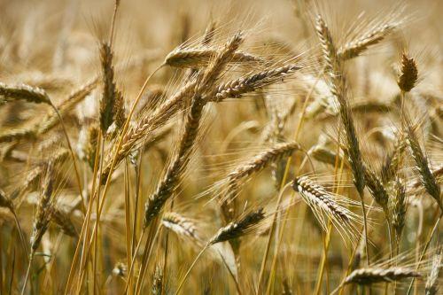 kvieciai, pasėliai, kviečiai & nbsp, ausys, ūkininkavimas, ūkininkai, miltai, maisto produktas, bio, intensyvus & nbsp, ūkininkavimas, rugių laukas