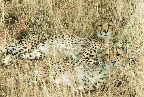 Gepardas,medžioklė-leopardas,kačių,laukinis katinas,laukinė gamta,gyvūnas,afrika,Namibija,safari,laukinis gyvūnas,melas,poilsio,plėšrūnas,pavojingas,stiprus,žiūrėti,greitai,kamufliažas,karštas,sausas