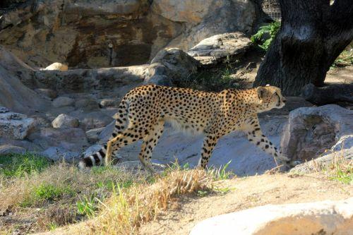 Gepardas, vaikščioti, kačių, didelis & nbsp, katinas, laukinė gamta, gamta, viešasis & nbsp, domenas, fonas, tapetai, zoologijos sodas, gaubtas, mėsėdis, greitas, greitai, greitas, dėmės, profilis, pastebėtas, žiūri, portretas, lauke, Gepardas
